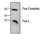 AP00648PU-N - CD178 / Fas Ligand