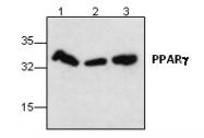 AP00649PU-N - PPAR-gamma