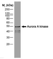 SM2084B - Aurora kinase A
