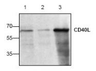 AP00059PU-N - CD154 / CD40L