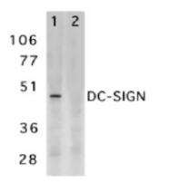 SP1337P - CD209 / DC-SIGN