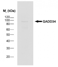 SP1389P - GADD34 / PPP1R15A