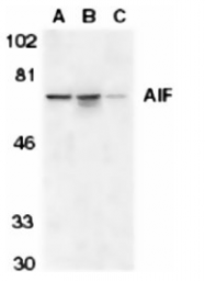SP1292P - AIFM1 / AIF