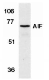 SP1294P - AIFM1 / AIF