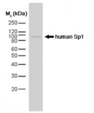 SP1154P - SP1 / TSFP1