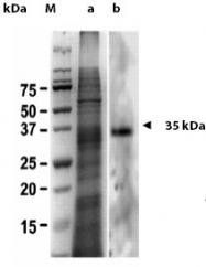 AP02095SU-S - Galectin-2
