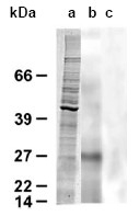 AP02295SU-S - Tachylectin related Protein (Suberites domuncula)