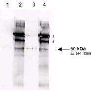 R1481P - RAD9A