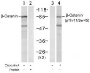 AP02636PU-S - Catenin beta-1