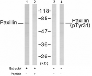 AP02469PU-S - Paxillin /  PXN