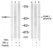 AP02637PU-S - CD54 / ICAM1