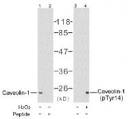 AP02643PU-S - Caveolin-1