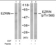 AP02470PU-S - Ezrin