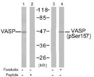 AP02474PU-S - VASP