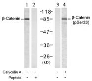 AP02477PU-S - Catenin beta-1