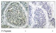 AP02478PU-S - Catenin beta-1