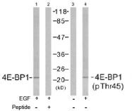 AP02482PU-S - EIF4EBP1 / 4E-BP1