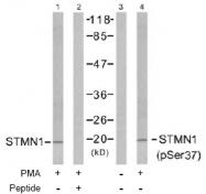AP02484PU-S - Stathmin / STMN1