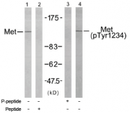 AP02485PU-S - HGF receptor