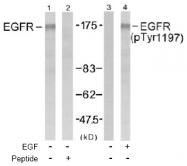 AP02486PU-S - EGFR / ERBB1