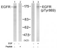 AP02487PU-S - EGFR / ERBB1