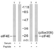 AP02491PU-S - EIF4E