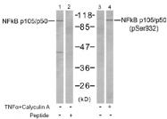 AP02503PU-S - NF-kB p105 / p50