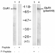 AP02510PU-S - Glutamate receptor 1 / GLUR1