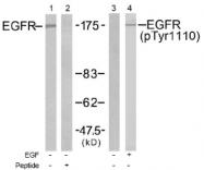 AP02512PU-S - EGFR / ERBB1