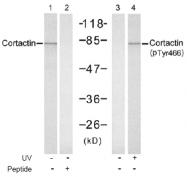 AP02517PU-S - Cortactin