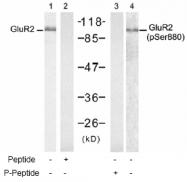 AP02530PU-S - Glutamate receptor 2 / GLUR2