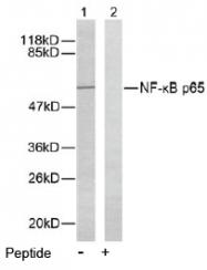 AP02554PU-S - RELA / NF-kB p65