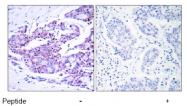 AP02556PU-S - RELA / NF-kB p65
