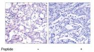 AP02561PU-S - NF-kB p105 / p50
