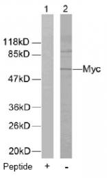 AP02576PU-S - c-Myc