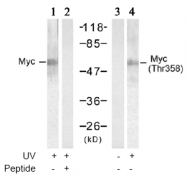 AP02577PU-S - c-Myc