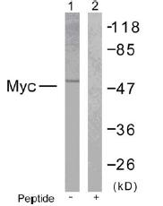 AP02578PU-S - c-Myc