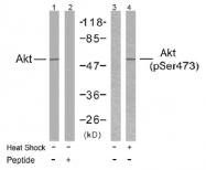 AP02595PU-S - AKT1 / PKB