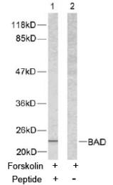 AP02603PU-S - Bcl-2-like 8