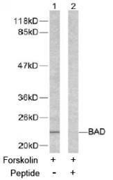AP02605PU-S - Bcl-2-like 8
