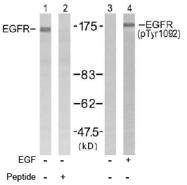 AP02614PU-S - EGFR / ERBB1