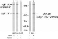 AP02621PU-S - CD221 / IGF1R
