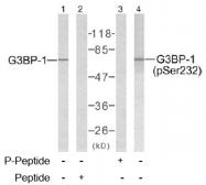 AP02635PU-S - G3BP1 / G3BP