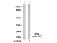 AP02366PU-S - Bcl-2-like 8