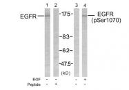 AP02378PU-S - EGFR / ERBB1