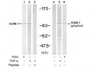 AP02381PU-S - CD54 / ICAM1