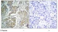 AP02383PU-S - CD309 / VEGFR-2 / Flk-1