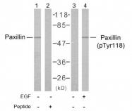 AP02387PU-S - Paxillin /  PXN