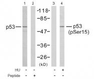 AP02390PU-N - TP53 / p53