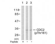 AP02422PU-S - CDK1